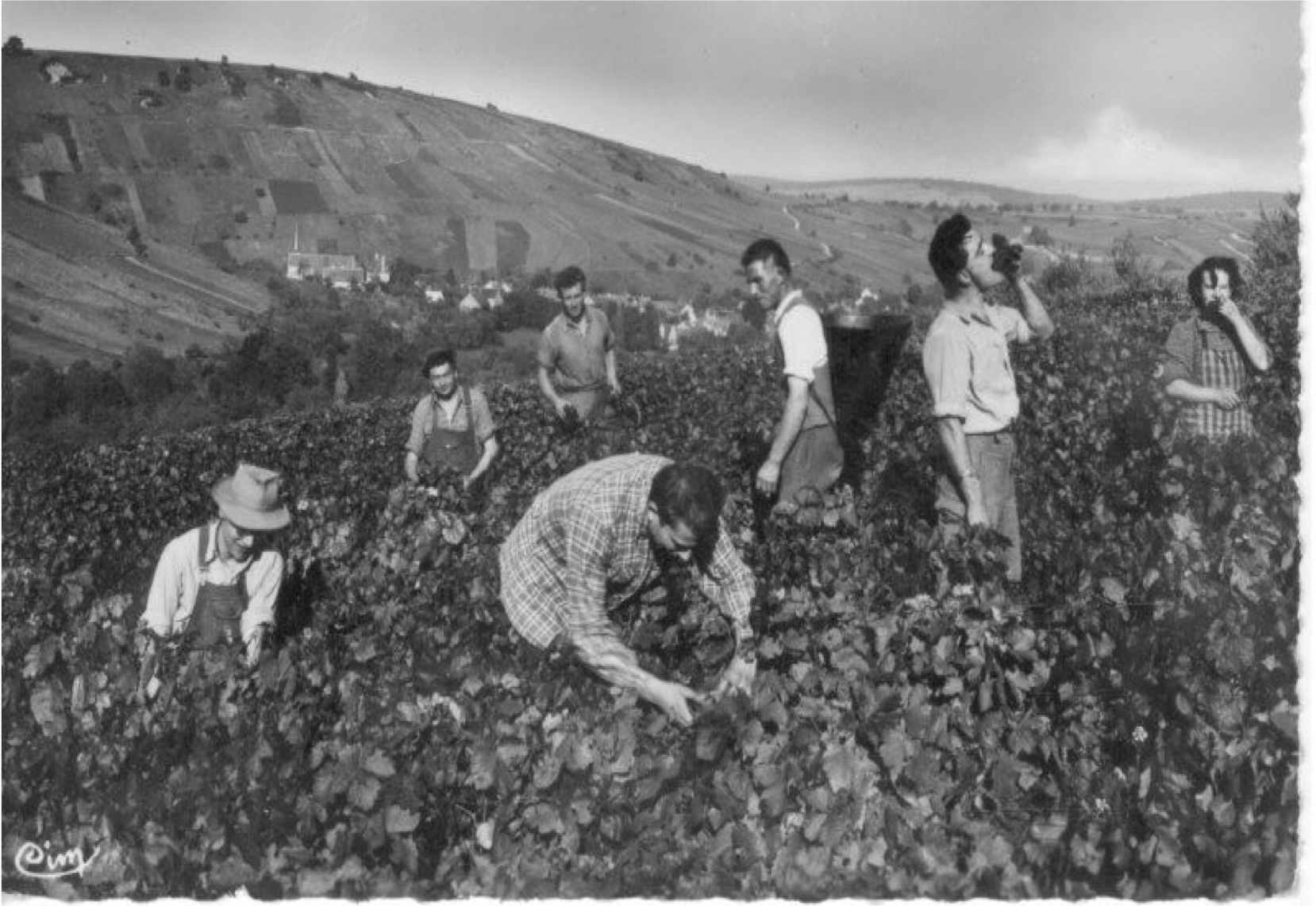 Harvest in Chavignol during the 1950's